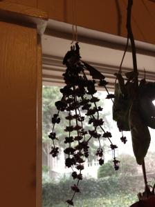 Hanging Basil