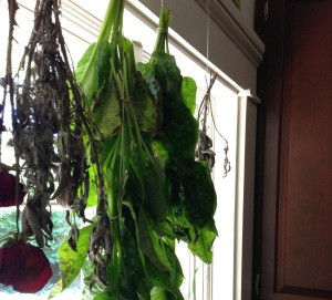 Fresh lungwort hangs between bunches of sage that have been hanging for a week or more.